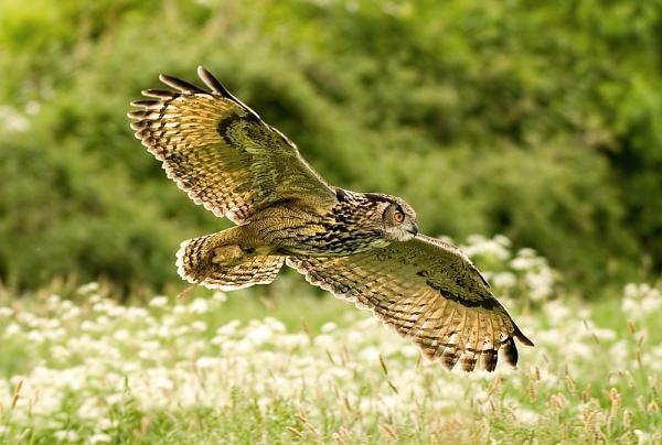 Eagle Owl (c) II by DannoM