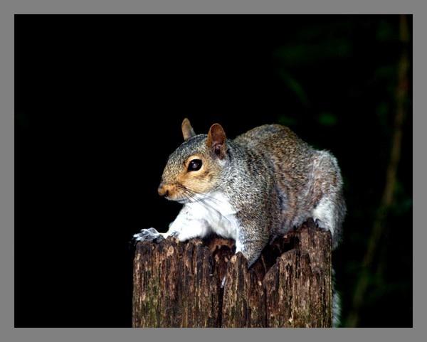 Grey Squirrel by RobbieWales