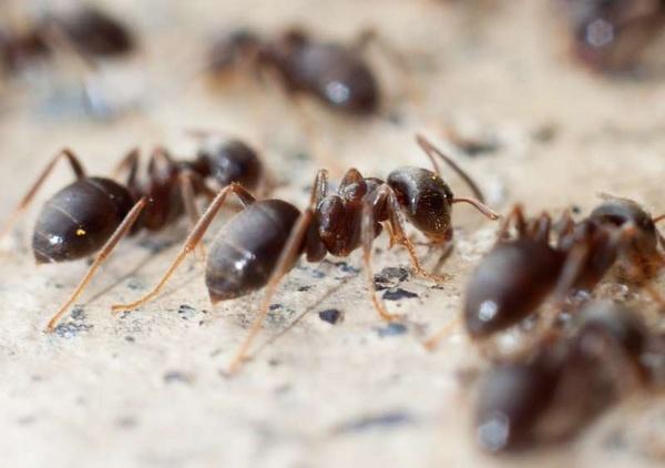 Ant Feeding Line by HuntedDragon
