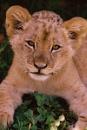 Lion Cub by shandoor