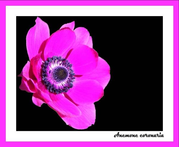 Anemone by Jolind