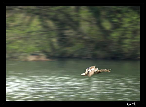 Quack by jjmorgan36