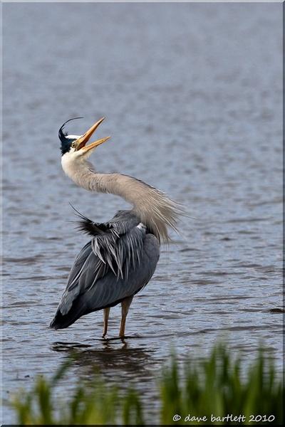 Grey heron aggression by DaveBartlett