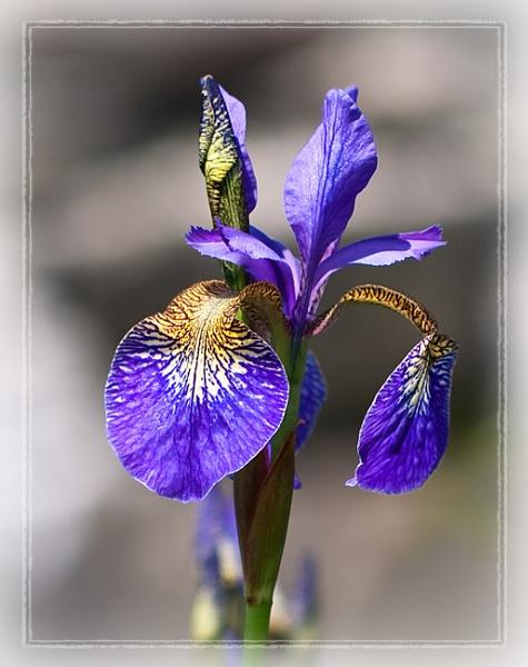 Iris by treblecel
