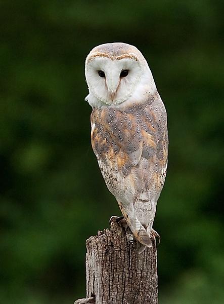 Barn Owl- Luna by Lorraine_Wallace