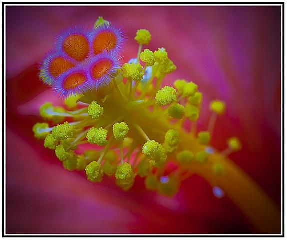 Hibiscus stamen by JackAllTog