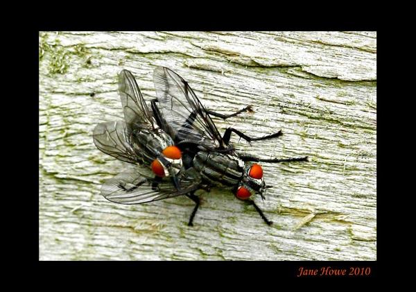 Flesh Flies (Sarcophaga carnaria) by Snapitt