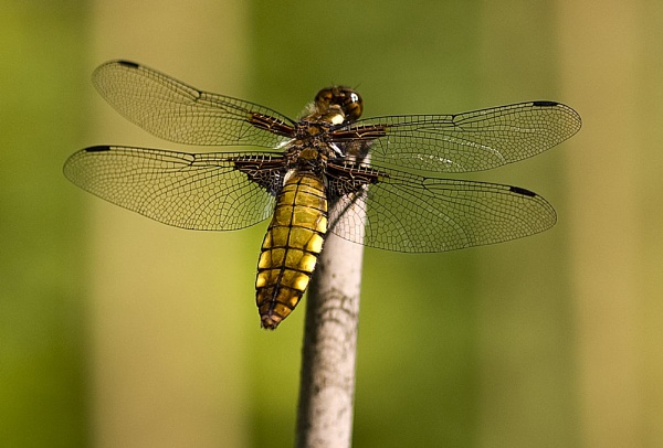 Broad bodied chaser by paddyman
