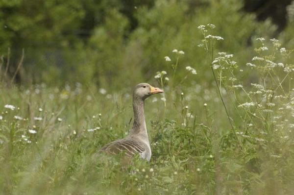 goose by vickib
