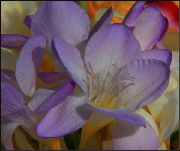 Purple Freesias by In-Focus-Imaging