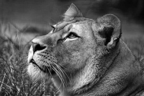 Lioness by SashaB