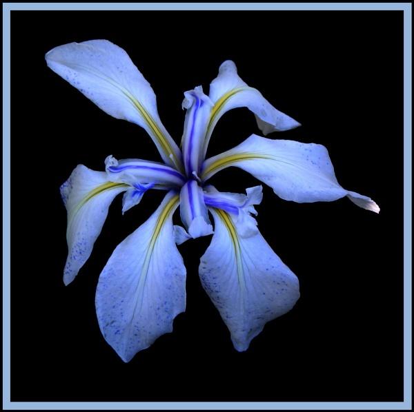 Water Iris by Ben10
