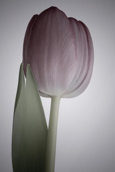 Tulip by narfish