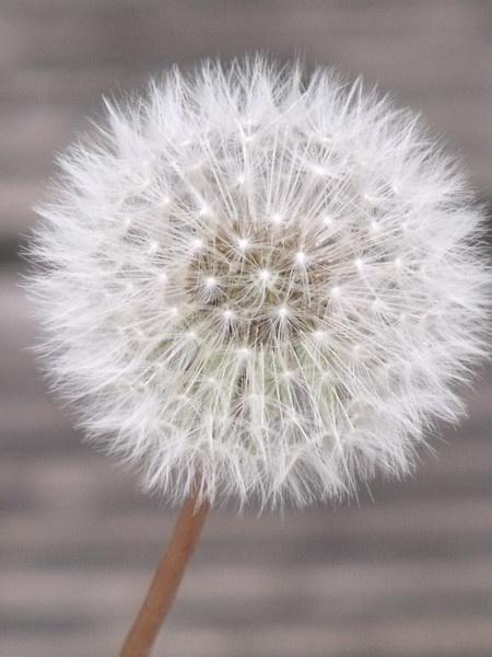 dandelion by kibp