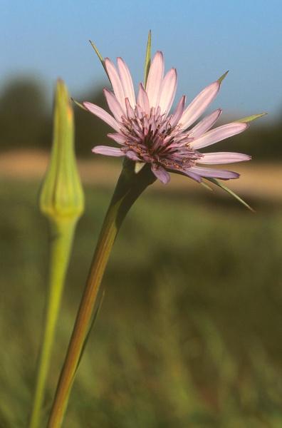 Salsify. (Tragopogon porrifolius) by Amanita05