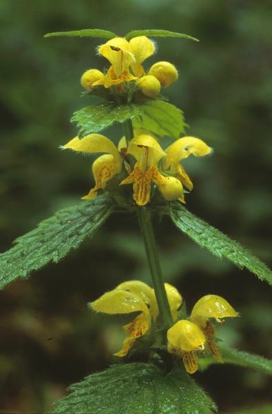 Yellow Archangel. (Lamiastrum galeobdolon) by Amanita05