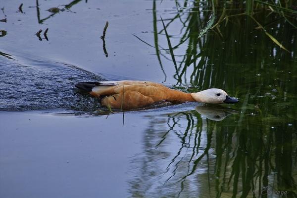 Red duck by Evgenya