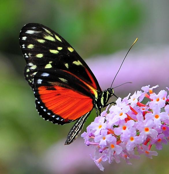 Butterfly VI by tudu