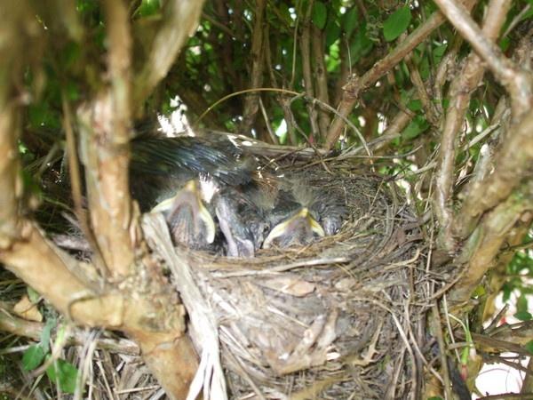 2 blackbird chicks in the nest by nutrunner