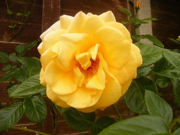 yellow rose by framojunior