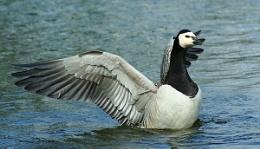 barnical Goose