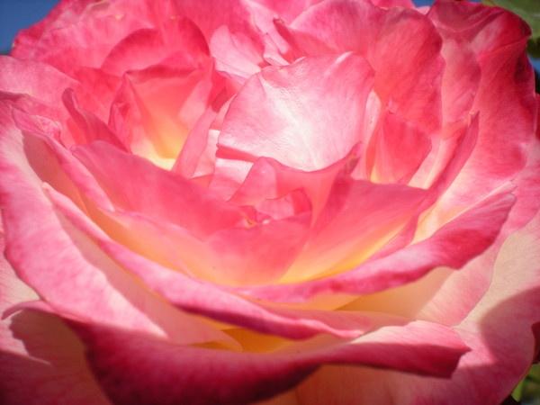 rose by Virna