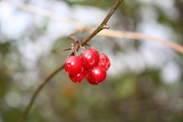 Red Berries by SteveBaz