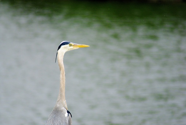 Grey heron keeping an eye on the water and one eye on me... by gabriel_flr