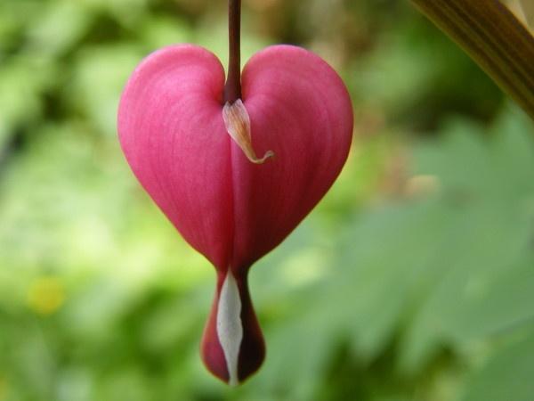 bleedin heart by Gid