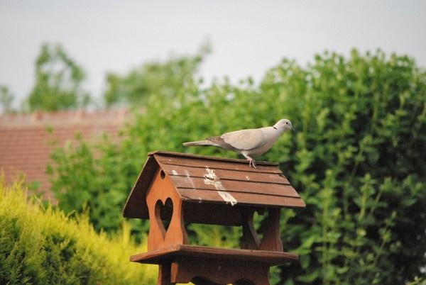 Pigeon by mrfmilo