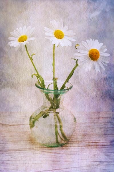 Daisies by TeresaH