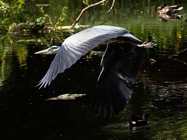 Heron inflight by 007peter
