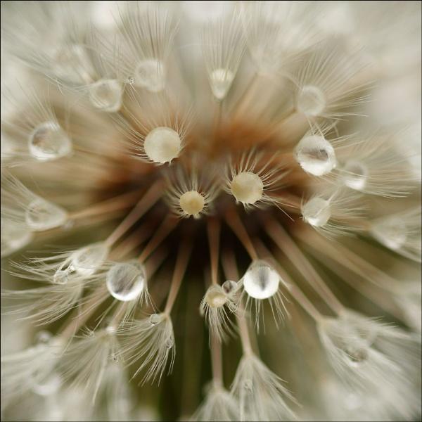 Dandelion Days ll by BeiK