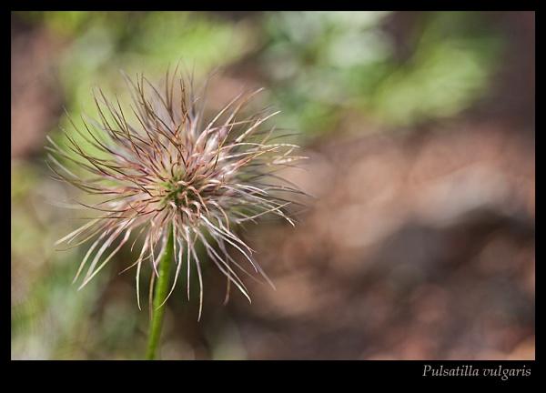 Pulsatilla vulgaris by Sue_R