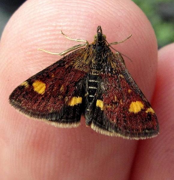 Mint Moth by CHIPPYX1X