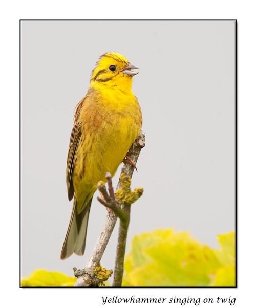 Yellowhammer by harrattp