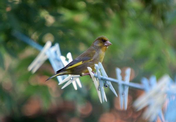 greenfinch by sheepdogshady
