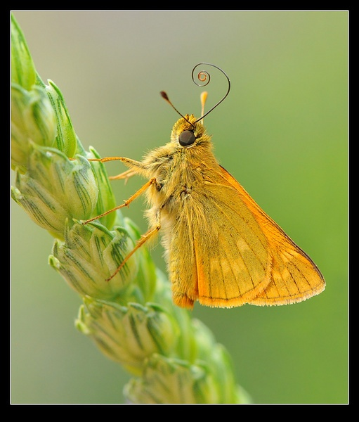 Large Skipper by tubbtubby