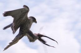 3/4 Gyr Salker Falcon taking a line lure