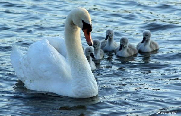 Swanning around by SKETCHER68