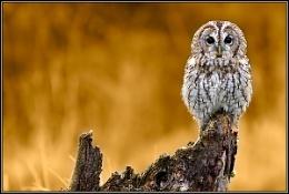 Tawney Owl    (c)