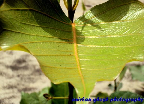 Leaf by Anirban_ind