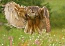 Drac-owl-a by SurreyHillsMan