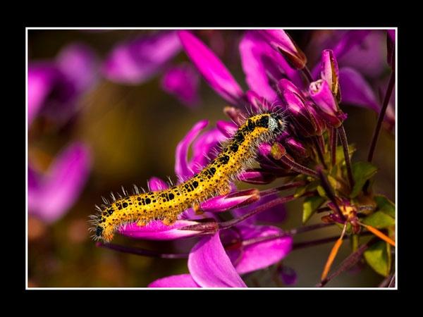 Cabbage White Caterpillar by ptdigital
