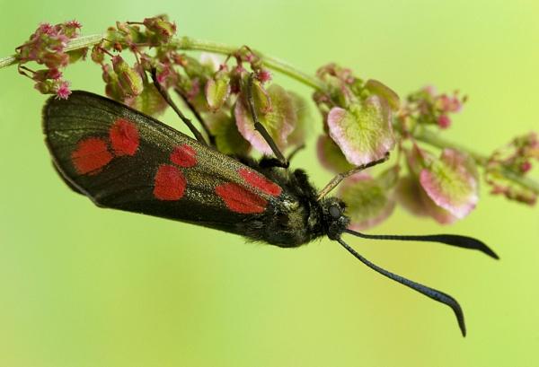Burnett moth by Angi_Wallace
