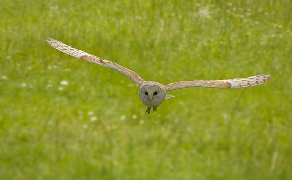Barn Owl by Dinney