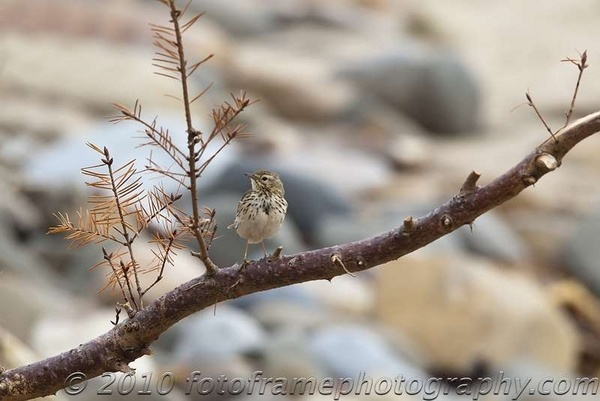 Meadow pipit by Icee