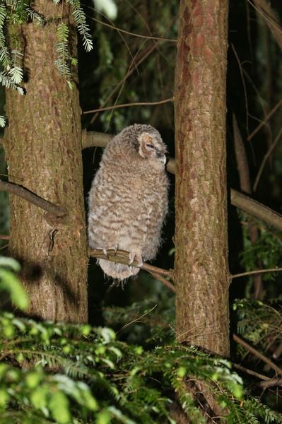 baby owl in my garden by mattywhit