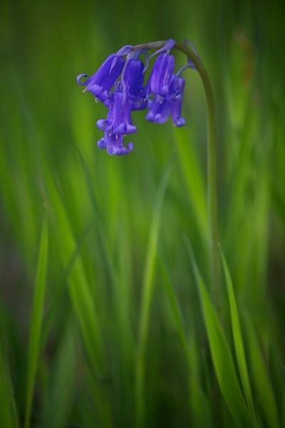 Bluebell by alansdottir
