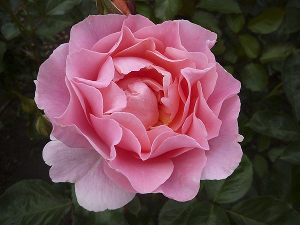 Pink Rose by Moying